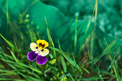 Plant pansies. Another name - violet. The picture shows a violet flower on the lush green grass Royalty Free Stock Photo