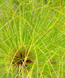 Plant Papyrus close up Royalty Free Stock Photo