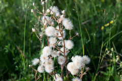 Plant with parachutes like dandelion (Cupid's shaving brush) Stock Photos