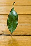 Plant on parquet floor. Photo of a leaf on my parquet floor Royalty Free Stock Image