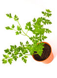 Plant of parsley Royalty Free Stock Image