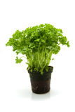 Plant parsley Stock Image