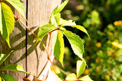Plant Parthenocissus quinquefolia on a wooden pole. In the garden Stock Photo