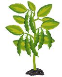 Plant peas on white background is insulated. Vector illustration plant family bob peas on bush royalty free illustration