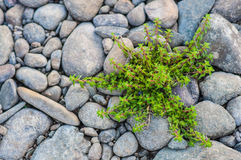 Plant on pebble stone Royalty Free Stock Photo