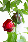 Plant peppers Royalty Free Stock Photos