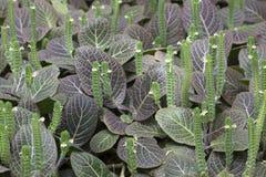 Plant - Persian Shield Royalty Free Stock Photo