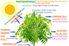 Plant photosynthesis concept Stock Image