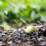 Plant on pile of soil in the garden and raindrops Stock Photo