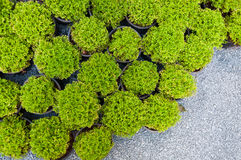 Plant pine in potted,Green arborvitae seedlings. Top view Royalty Free Stock Photos