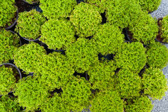 Plant pine in potted,Green arborvitae seedlings. Top view Royalty Free Stock Photo