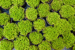 Plant pine in potted,Green arborvitae seedlings. Top view Stock Photo