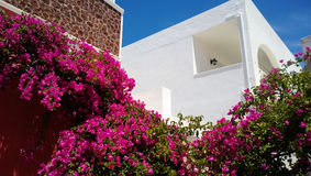 The plant is pink in color twisting around the walls of Oia on Santorini island Royalty Free Stock Photo