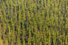 Plant plantation pattern from aerial view nature background.  royalty free stock photography