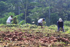 Plant Planting Potatoes For Replacement Of Staple Food. Farmers harvest the potato crop during harvest in Karanganyar, Java, Indonesia. Ubi used by farmers to Stock Photo