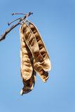 Plant Pods Against Blue Sky Royalty Free Stock Image