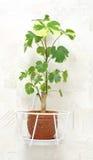 Plant poliscias fruticosa. Hosehold plant poliscias fruticosa in pot  hangs on wall Royalty Free Stock Image