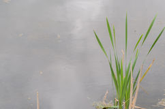 Plant on pond Royalty Free Stock Image