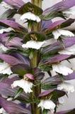 Plant portrait acanthus flowers Stock Image