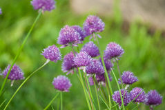 Plant portrait allium Royalty Free Stock Images