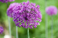 Plant portrait allium Royalty Free Stock Photography
