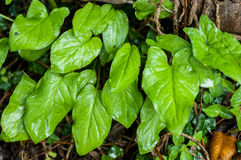 Plant portrait arum lily leaves Stock Image