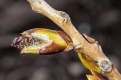 Plant portrait ash buds. Plant portrait ash (Fraxinus excelsior) buds bursting in spring sunshine Stock Images