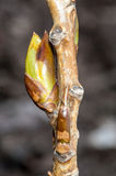 Plant portrait ash buds Royalty Free Stock Images