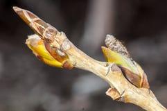Plant portrait ash buds Royalty Free Stock Image