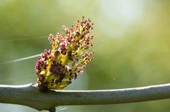 Plant portrait ash flowers Stock Photography