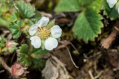 Plant portrait barren strawberry Stock Images