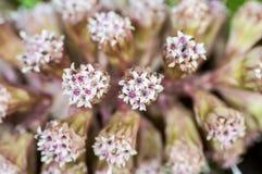 Plant portrait butterbur Stock Photos