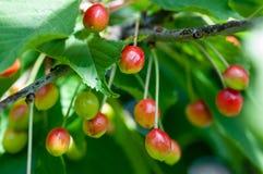 Plant portrait cherries on a tree Stock Photos