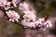 Plant portrait cherry blossom Royalty Free Stock Image