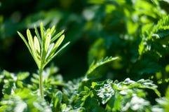 Plant portrait cleavers Stock Images