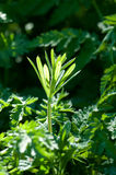 Plant portrait cleavers Royalty Free Stock Images