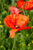 Plant portrait of common poppy Royalty Free Stock Image