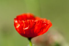 Plant portrait common poppy Stock Images