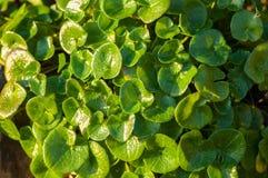 Plant portrait common scurvygrass Royalty Free Stock Image