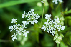 Plant portrait cow parsley Stock Photography