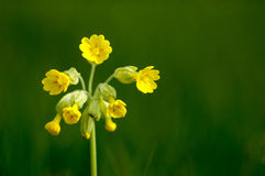 Plant portrait cowslip Stock Photography