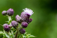 Plant portrait creeping thistle Royalty Free Stock Images