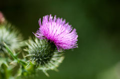 Plant portrait creeping thistle Royalty Free Stock Photography