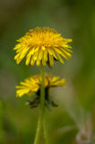 Plant portrait dandelion. (Taraxicum officinale) flowering in rough grassland Stock Photo