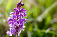 Plant portrait early-purple orchid Stock Image