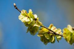 Plant portrait elm keys. Plant portrait elm (Ulmus spp.) keys against blue sky Stock Photography
