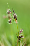 Plant portrait field wood-rush Stock Images