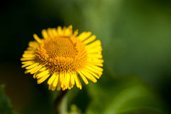 Plant portrait fleabane Royalty Free Stock Image