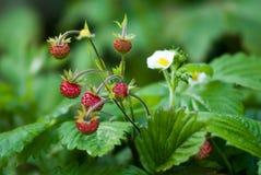 Plant portrait garden strawberry Royalty Free Stock Photos