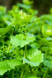 Plant portrait garlic mustard Stock Photography